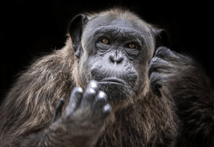 筆者はチンパンジー