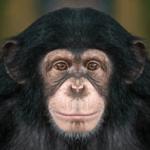 信じられないかもしれませんが、私はチンパンジーです